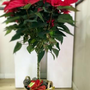 arbolito Poinsettia